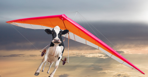 Cows-flying-cows-35890184-500-260.png