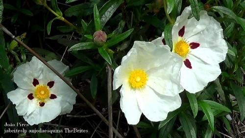Flor de Esteva 1
