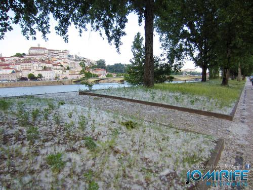 Pólen das árvores em Coimbra faz parecer que esteve a nevar [en] Tree pollen in Coimbra makes it seem like was snowing