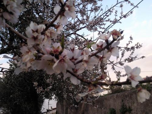 Amendoeira florida Foto original DAPL 2015.jpg