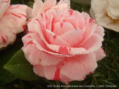 6 - XIII Festa Internacional das Camélias - Celor