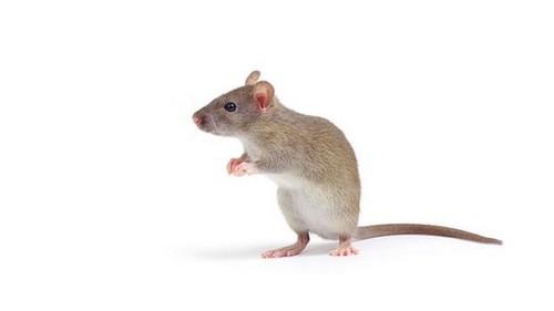 rato-20120913-size-598.jpg