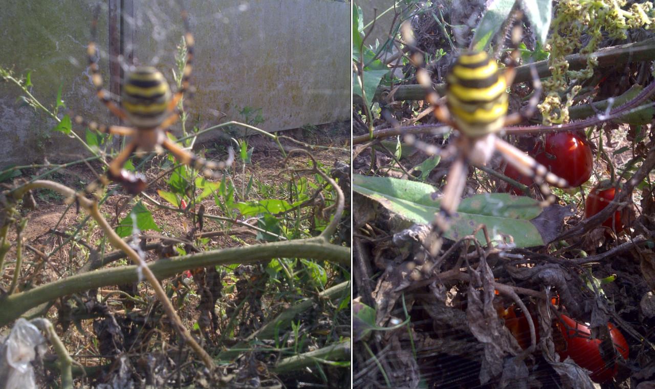 aranha abelha.bmp