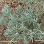 Lavandula_angustifolia.jpg