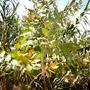 eucaliptus_globulus.jpg