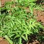 Sambucus lanceolata.jpg