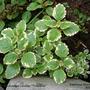 Plectranthus_coleoides.jpg