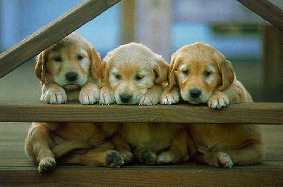 cachorrinhos222