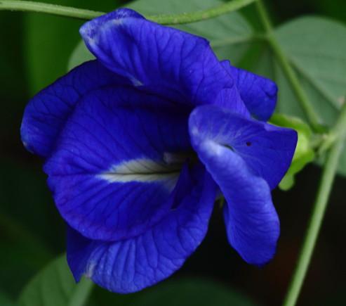Butterfly_Pea_Double_Flower_(_Clitoria_Ternatea_).