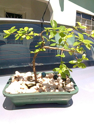 bonsai de acerola