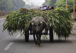 Homem descansa sobre o milho, Índia